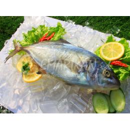 Ikan Kuwe Segar